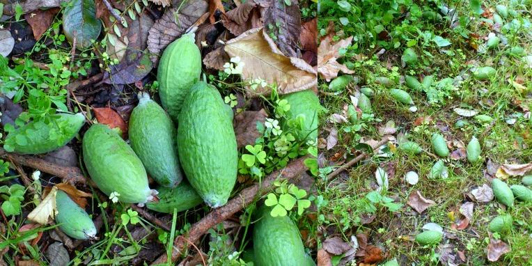 feijoas-in-garden